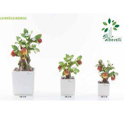 bonsai-melograno- Gli Alberelli-emmanueleregali-bombonieraperfetta